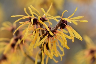 Hamamelis x interemedia Harry