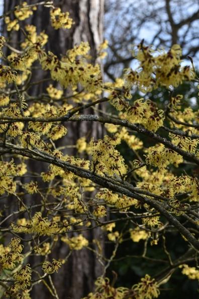 Hamamelis x intermedia Primavera