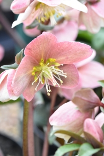 Hellebore Gold Collection Maestro