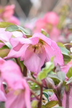 Walburton's Rosemary