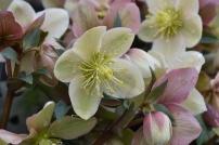 Helleborus x ericsmithii Monte Christo