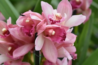 Cymbidium piccobello mix