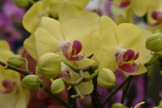 Phalaenopsis Yellow