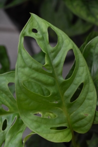 Monstera Monkey Mask