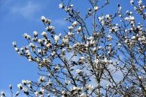Magnolia loebneri Merrill
