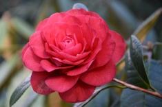 Camellia x williamsii Les Jury