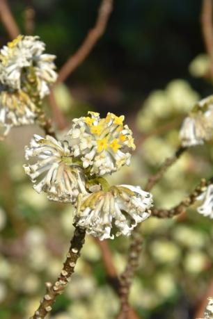Edgeworthisa chrysantha