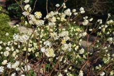 Edgworthia chrysantha