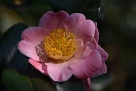 Camellia Furo-Ann