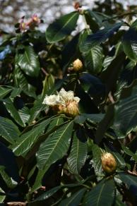 Rhododendron grander