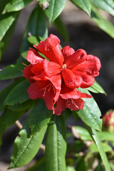 Rhododendron strigilosum