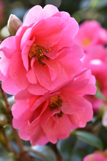 Camellia x williamsii George Blandford
