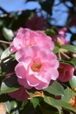 Camellia x williamsii Coppelia