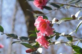 Camellia Leonard Messel