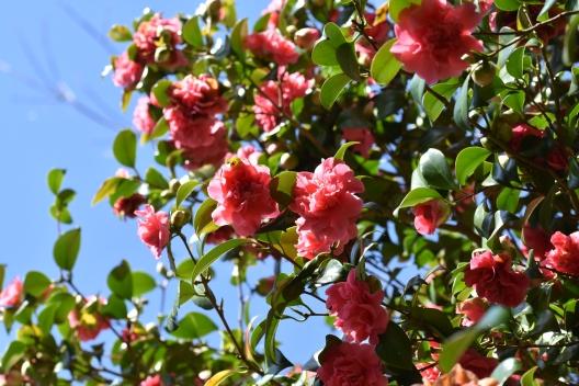 Camellia japonica Her Majesty Queen Elizabeth II