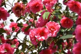 Camellia Leonara