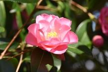 Camellia x williamsii Daintiness