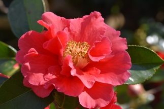 Camellia Royalty