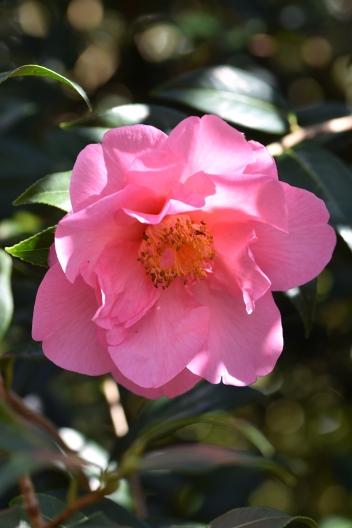 Camellia x williamsii Muskoka