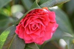 Camellia Invitation