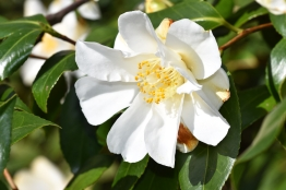 Camellia japonica lily Pons