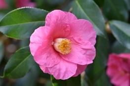 Camellia x williamsii Joe Nuccio