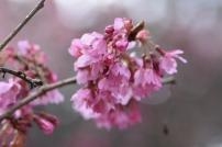 Prunus Euridice