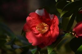 Camellia japonica Alexander Hunter