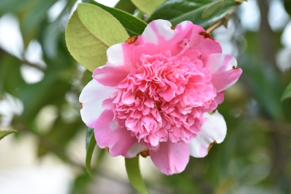 Camellia x williamsii Ballet Queen Variegated