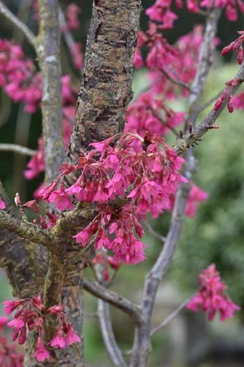 Prunus campanulata Felix Jury