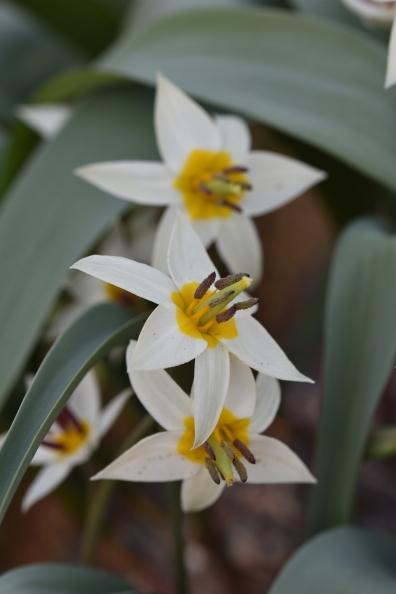 Tulipa orphanides Flava