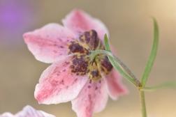 Fritillaria ariana