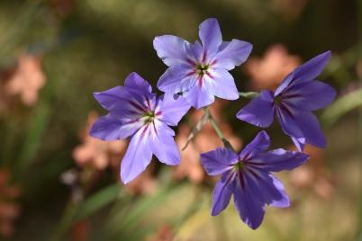 Leucocoryne purpurea