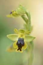 Ophrys lutea subsp galilaea