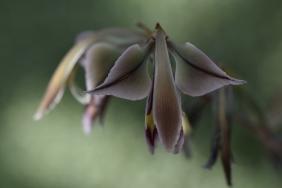 Gladiolus trichonemifolius