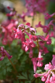 Corydalis Hot Lips