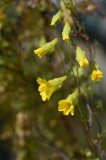 Tropaeulum hookerianum