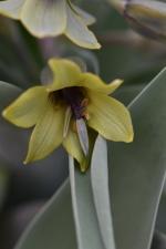 Fritillaria sewerzoewii