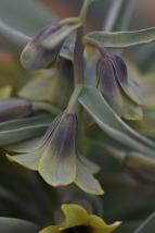 F. sewerzowii
