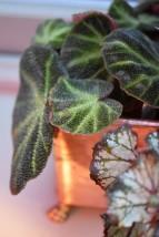 Begonia soli-mutuata