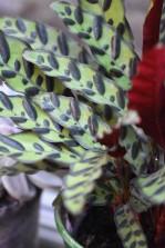 Calathea Leopard