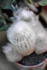 Old Man's Beard Cactus