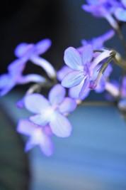 Begonia Falling Stars