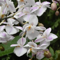 New Life Scented Variety