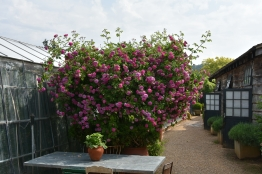 ... or Rosa multiflora Platyphylla