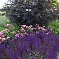 Salvia Caradonna, Sambucus and roses