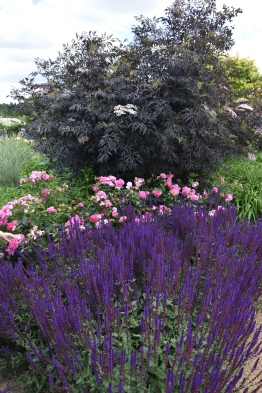 Salvia Caradonna, Sambucus and roses