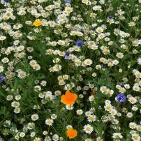 Wildflower trials