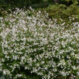 A fantastic clump of Gillenia trifolata