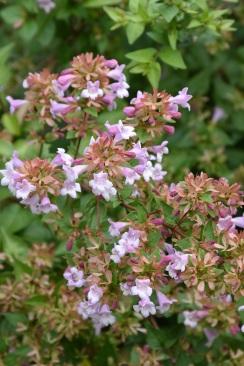 Abelia parvifolia Bumblebees 1